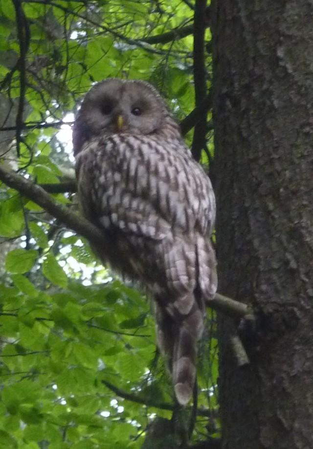 Urals owl